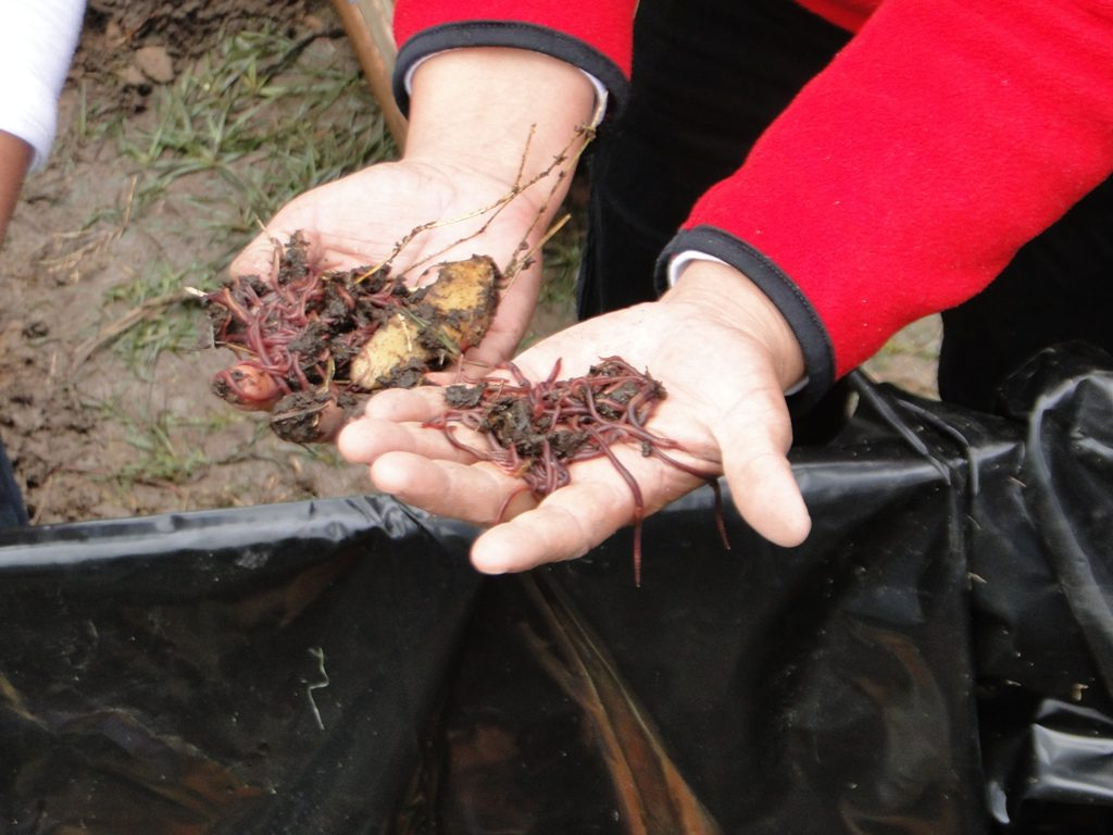 Las lombrices californianas producen abono orgánico